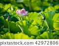 莲花 花朵 花卉 42972806