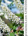 Flowering bird cherry 42983006