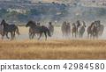 Wild horses Running 42984580