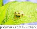 수국의 잎과 개구리 42989472