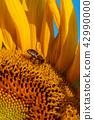 Honey Bee on Sunflower, close up 42990000