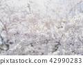 ดอกซากุระบาน,ซากุระบาน,ดอกไม้บานเต็มที่ 42990283