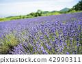 ลาเวนเดอร์,ทุ่งดอกไม้,ดอกไม้ 42990311