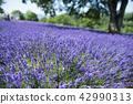 ลาเวนเดอร์,ทุ่งดอกไม้,ดอกไม้ 42990313
