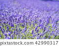 ลาเวนเดอร์,ทุ่งดอกไม้,ดอกไม้ 42990317