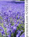ลาเวนเดอร์,ทุ่งดอกไม้,ดอกไม้ 42990318