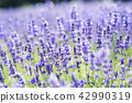 ลาเวนเดอร์,ทุ่งดอกไม้,ดอกไม้ 42990319