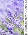 ลาเวนเดอร์,ทุ่งดอกไม้,ดอกไม้ 42990322