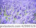ลาเวนเดอร์,ทุ่งดอกไม้,ดอกไม้ 42990326
