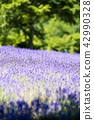 ลาเวนเดอร์,ทุ่งดอกไม้,ดอกไม้ 42990328