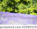ลาเวนเดอร์,ทุ่งดอกไม้,ดอกไม้ 42990329