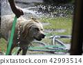 拉布拉多犬 中暑 拉布拉多狗 42993514