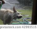 拉布拉多犬 中暑 拉布拉多狗 42993515