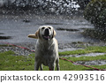 拉布拉多犬 中暑 拉布拉多狗 42993516
