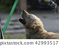 拉布拉多犬 中暑 拉布拉多狗 42993517