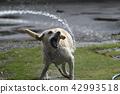 拉布拉多犬 中暑 拉布拉多狗 42993518