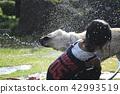 拉布拉多犬 中暑 拉布拉多狗 42993519