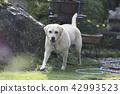 拉布拉多犬 中暑 拉布拉多狗 42993523