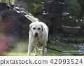 拉布拉多犬 中暑 拉布拉多狗 42993524