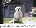 拉布拉多犬 中暑 拉布拉多狗 42993525