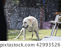 拉布拉多犬 中暑 拉布拉多狗 42993526