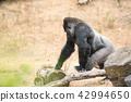 gorilla, silver back 42994650