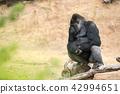 gorilla, silver back 42994651