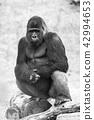 动物 大猩猩 野生生物 42994653