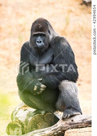 gorilla, silver back 42994654