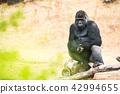 动物 大猩猩 野生生物 42994655