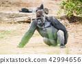 动物 大猩猩 野生生物 42994656