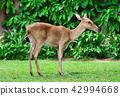 Portrait antelope on green grass  42994668