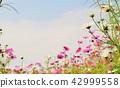 คอสมอส,ดอกไม้,พื้นหลัง 42999558