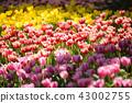tulips flowers in the garden 43002755