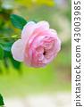 花園 花 花卉 43003985