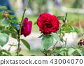 背景 花园 花朵 43004070