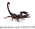 Scorpion of a white background. 43015378
