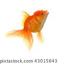 aquatic fish goldfish 43015643