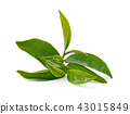 Green tea leaf isolated on white background 43015849
