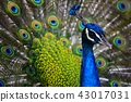 peacock peafowl bird 43017031