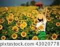 해바라기, 꽃밭, 한국 43020778