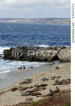 La Jolla的海豹和海豹 43024253
