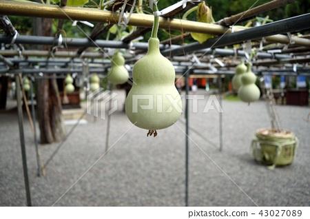 Gourd 43027089