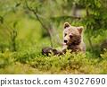 animal, brown, bear 43027690