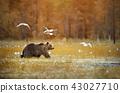 animal, brown, bear 43027710