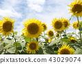 식물, 꽃, 플라워 43029074
