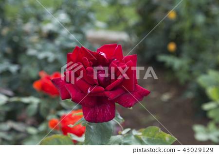 rose flower, rose, rose garden 43029129