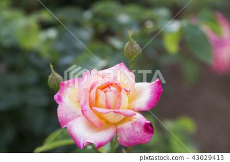 rose flower, rose, rose garden 43029413