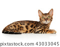 Bengal kitten 43033045
