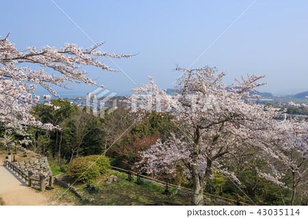 국보 히코 니시노 마루의 벚꽃 43035114